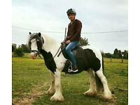 13.1hh evenly marked, black and white gelding cob