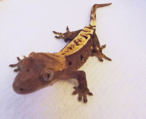 CRESTED GECKO - Syd