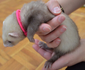 6 male & 2 female ferret kits for sale