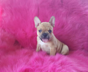 Gorgeous French Bulldog X Boston Terrier Puppies(Frenchton)!!!!