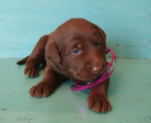 CHOCOLATE LAB PUPPIES Only 1 Female left
