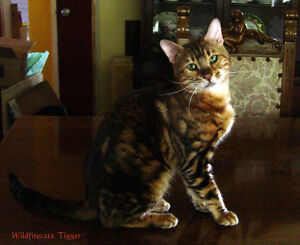 TICA Registered Purebred Bengal Adults looking for a loving home Stratford Kitchener Area image 4