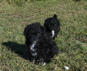 Papipoo Puppies for Sale