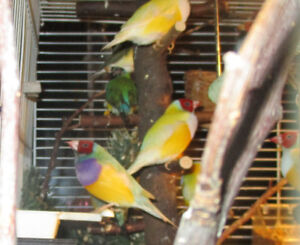 Young Lady Gouldian Finches for sale.