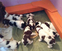 Registered Field Bred English Springer Spaniel pups