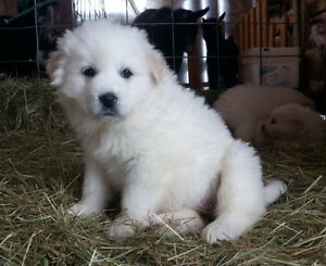 Great Pyrenees - Purebred Pups