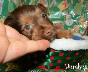 Stunning and Rare Yorkshire Terrier! Ready to go home Saturday!