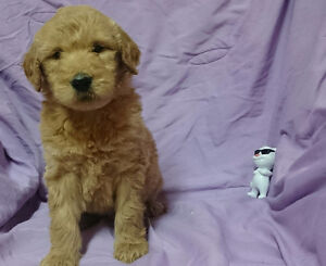 Goldendoodle puppies! Only 2 left!