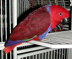 Hand raised super friendly ECLECTUS BABY FEMALE