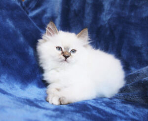 Lilac Point Ragdoll kittens are ready for adoption