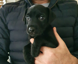 Patterdale terrier puppy ( All sold )