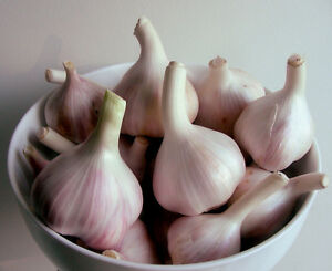 Certified Organic Ontario Garlic! Stratford Kitchener Area image 1