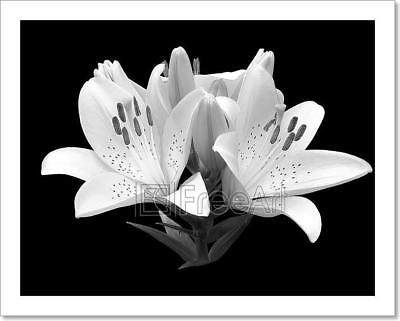 Black And White Flower Lily. Art Print Home Decor Wall Art P