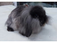 pure bred light sable lion lop buck