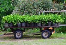 Gardenia 200ml pots North Maclean Logan Area Preview