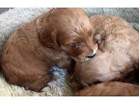 Beautiful Red cokerpoo Puppys