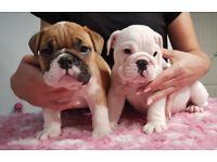 Beautiful bulldog puppies