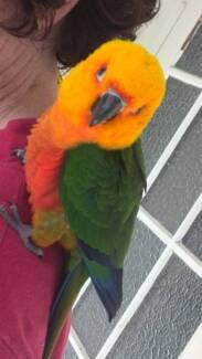 Sunconure and Jenday conure friends! Murwillumbah Tweed Heads Area Preview