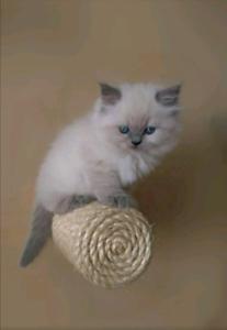 Ready Ragdoll Kitten 1st & 2nd Vaccinations