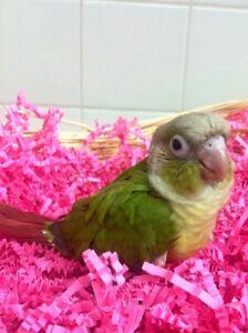 SPECIAL Bebe Perroquets Green Cheek Conure Joue Verte + Cinnamon