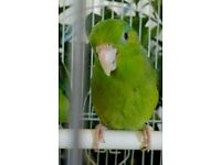 Baby parrotlet