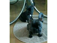 Two female french bulldogs!