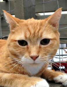 Male Cat - Domestic Short Hair - orange and white-Tabby - Orange