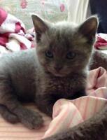"Baby Male Cat - Domestic Short Hair-gray: ""Albert"""