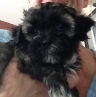 One Shih-Poo puppy left - 9 weeks old