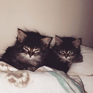 Two kittens ready for new home (Pending Pickup)