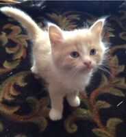 *~*~*Absolutely adorable 3/4 Himalayan cross kittens *~*~*