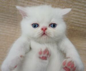 Chubby White Exotic Shorthair - Garfield