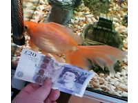 Huge Tropical Gold Fish