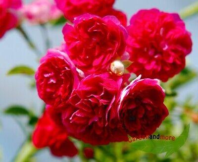 historische Ramblerrose Excelsa, rosa Kletterrose starkwachsend wurzelnackt