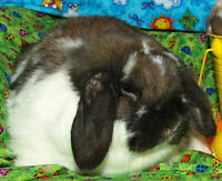 Holland Lop Adults - Free