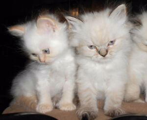 3 Male Ragdoll/Himalayan kittens for Sale