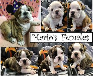 British/English Bulldog pup, 1 Male & Females available Edmonton Edmonton Area image 8