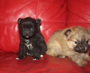 Teacup Pomeranian Puppies Windsor Region Ontario image 2
