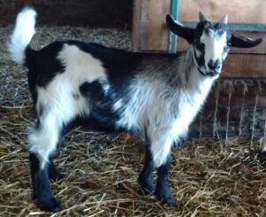 Myotonic Fainting Goats - MGR Registered - Bucks
