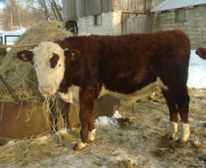 Young Hereford Bulls