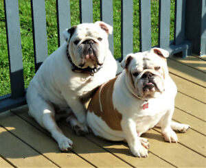 Couple de bulldog anglais standard