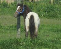 Awesome little Miniature AMHR appaloosa stallion for sale