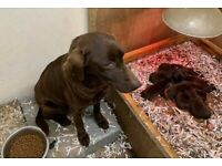 KC reg Chocolate Labrador puppies for Sale
