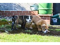 English Bulldog Male Puppies for sale! in Halstead!