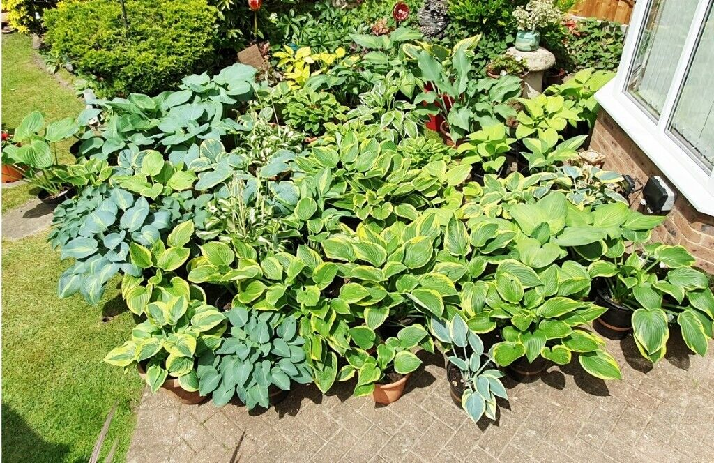 We Have 13 Species Of Hosta Plants For Sale 29 Plants In All In