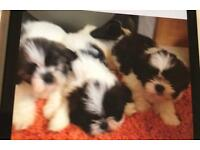 Lhasa apso puppy boy left