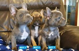 Very Rare & Exclusive Blue Frenchton Puppies - last 2 boys available