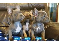 Exquisite & Rare Blue Frenchton Puppies - 2 Boys Ready 2 Go