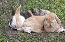 X2 rabbits for rehoming