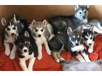 Siberian husky puppies need a good home